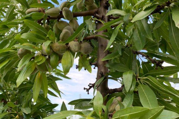 На Ставрополье впервые начнут выращивать миндаль