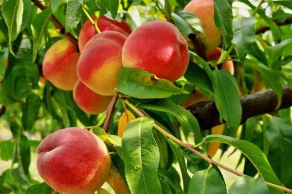 На Ставрополье будут выращивать персики в промышленных масштабах