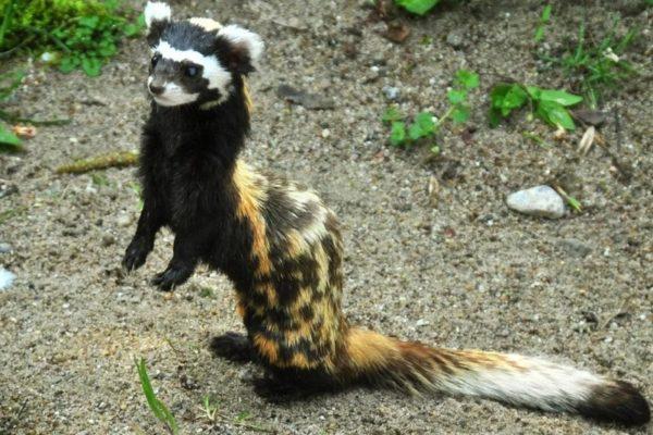 В лесополосе вблизи Минеральных Вод был замечен экзотический зверек